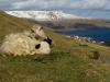 Færøske får